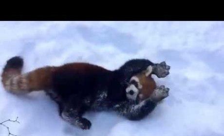 Red Pandas Love the Snow!
