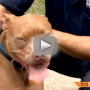 Pit-bull-saves-life-of-deaf-child