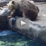 Bear-saves-crow-from-drowning