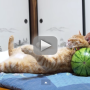 Exhausted Cat Just Wants to Nap on a Watermelon