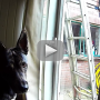 Genius Dog Unlocks Window, Makes Daring Daytime Escape