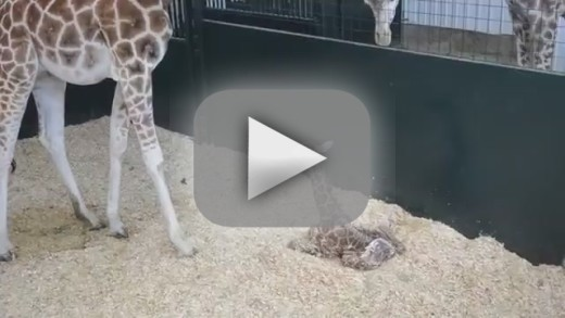 Baby Giraffe Tries to Stand