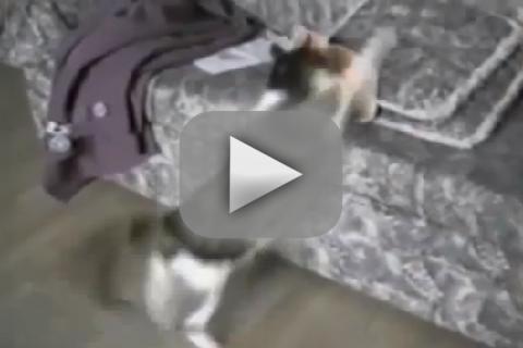Cat Attacks Cardboard Cat