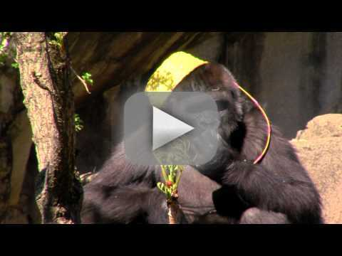 Baby Gorilla Participates in First-Ever Easter Egg Hunt: See the Video!