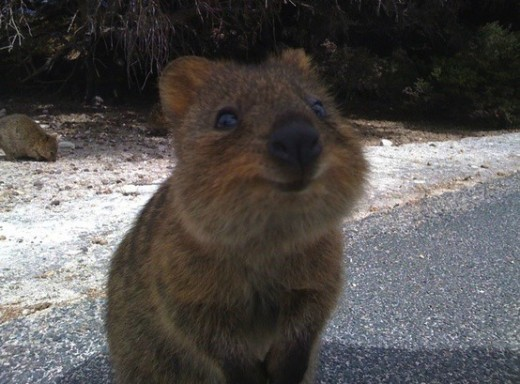 Quokka Photo!