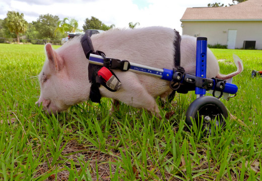 Pig in a Wheelchair Pic