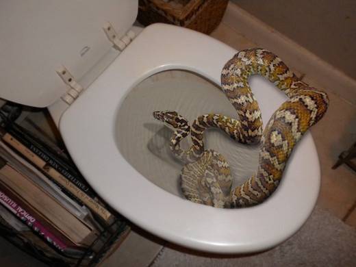 Snake Hides In Toilet Bites Man S Penis The Hollywood Gossip