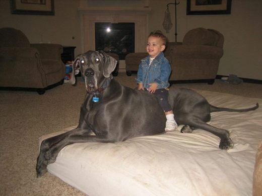 World's Largest Dog