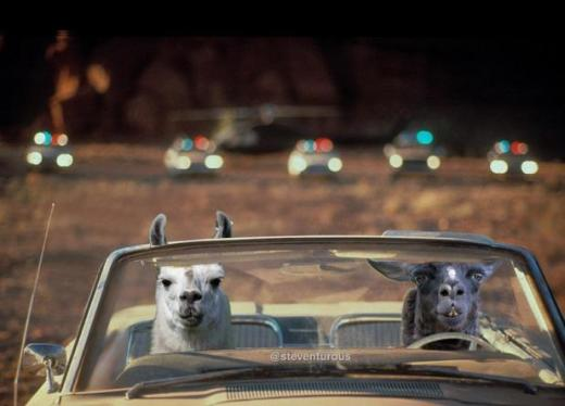 Llamas: Thelma and Louise